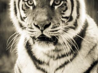 tiger-bw